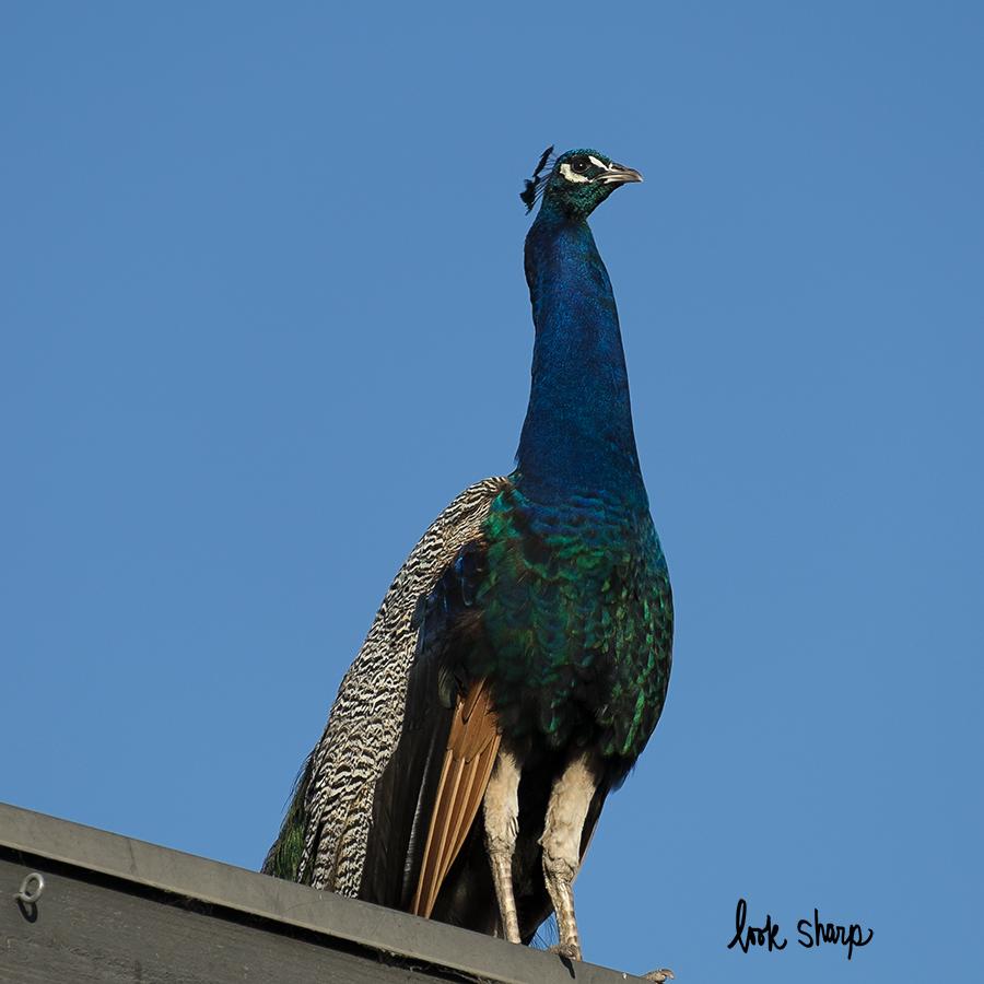 wild peacock.jpg
