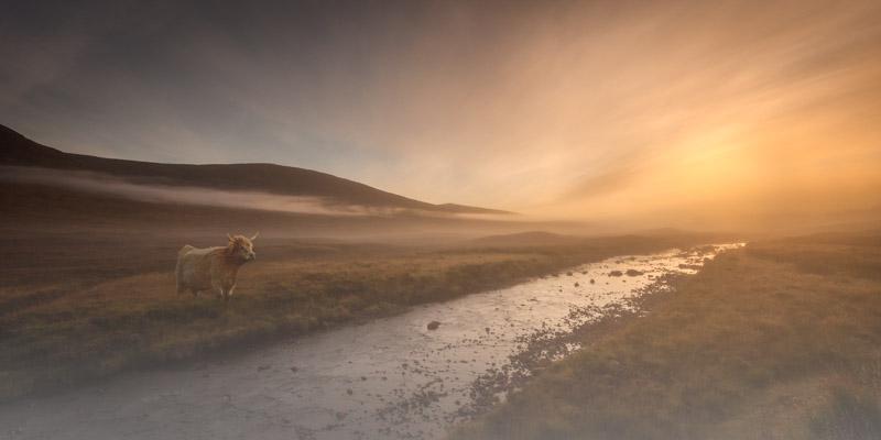 Highland Cow at dawn