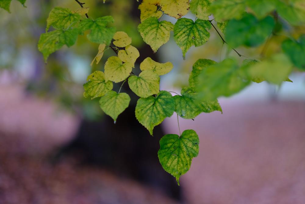 Fall Leaves -Fuji X-T2 Fuji Velvia Film Simulation and 56mm f1.2