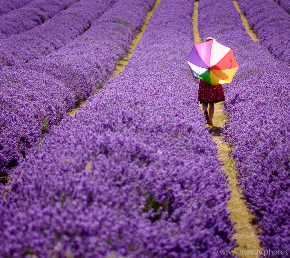Hazy Days of Summer, Lavender Fields, London