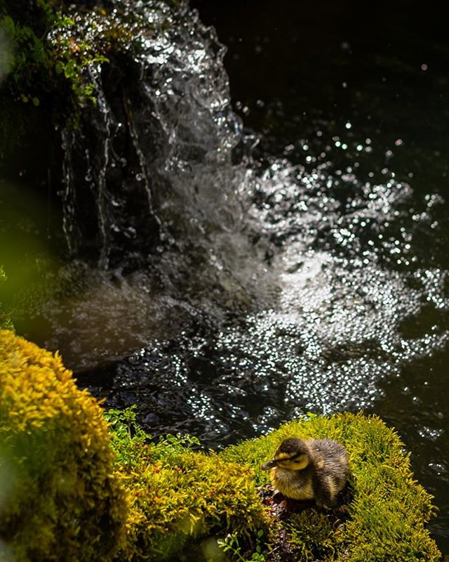 Duckling and Waterfall #spring #ducklings