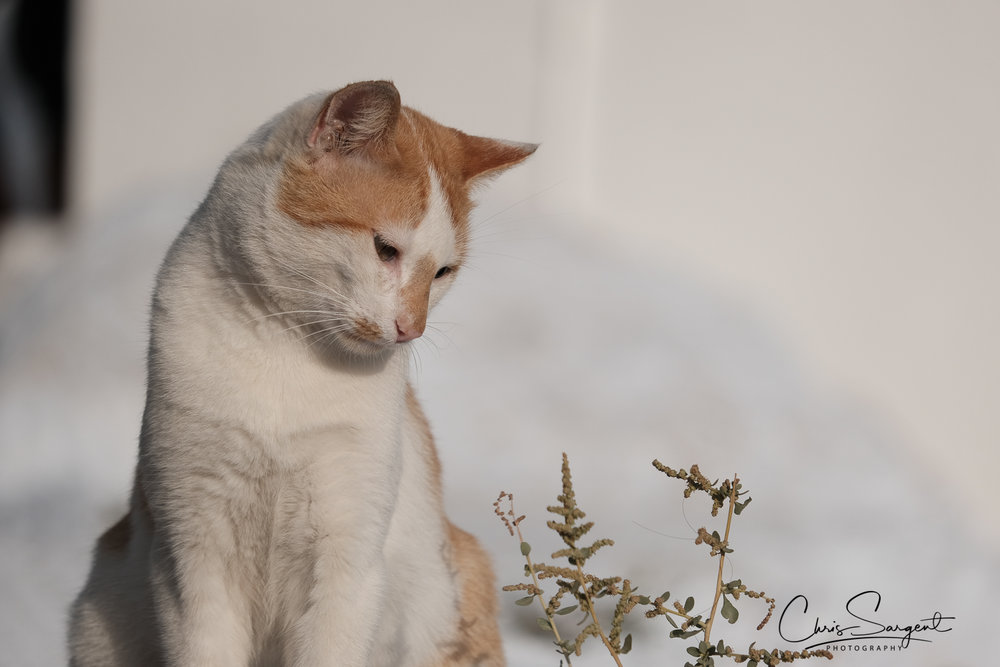 Imerovigili Cat