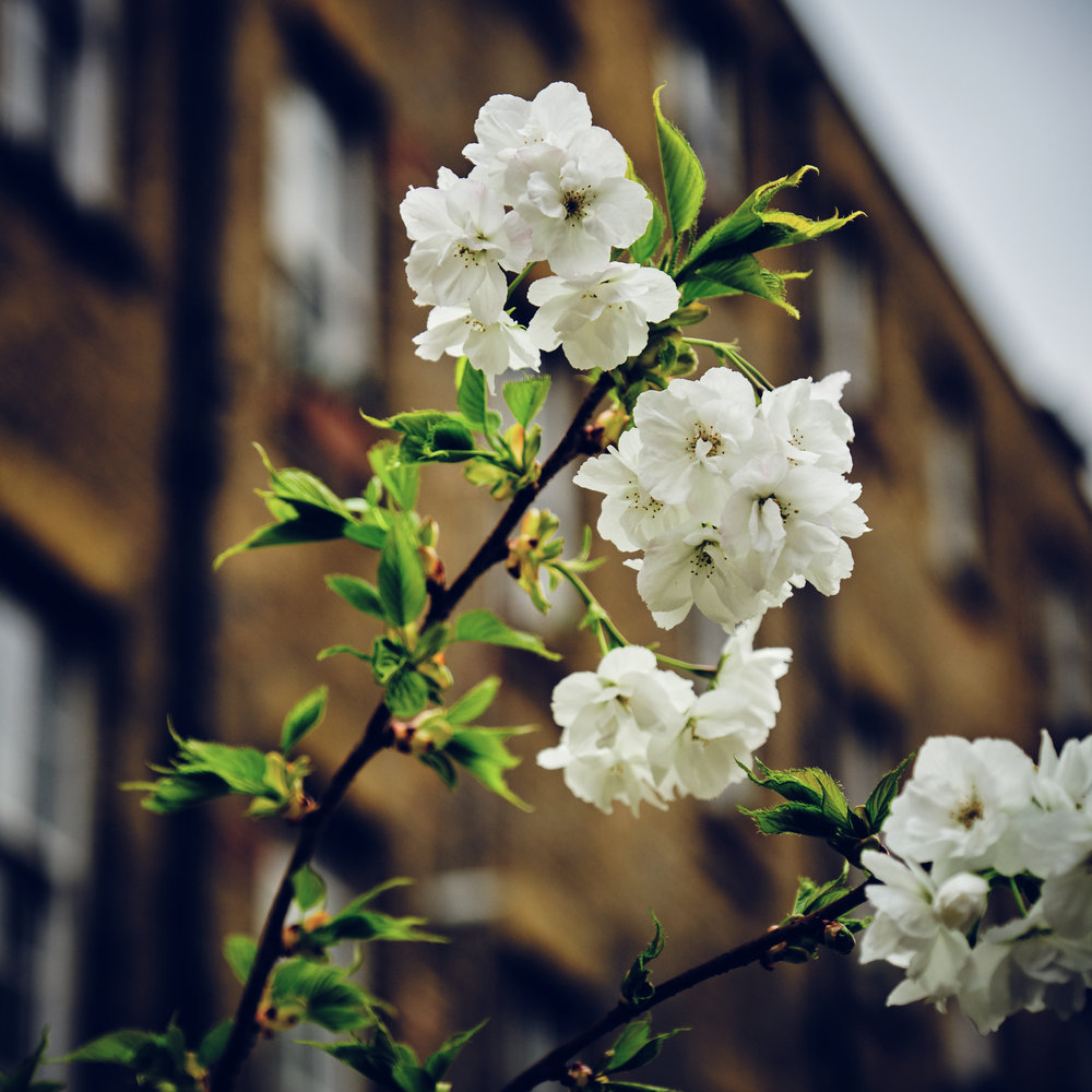 Cherry Blossom in East London Fuji X-T3 16-55mm