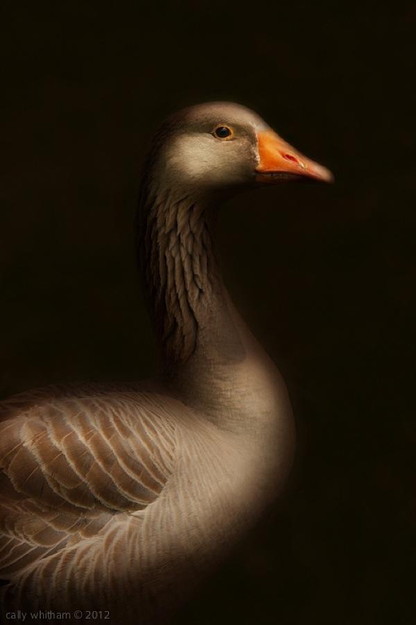 geese-cally-whitham-71.jpg