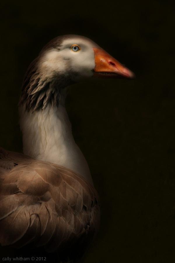 geese-cally-whitham-81.jpg