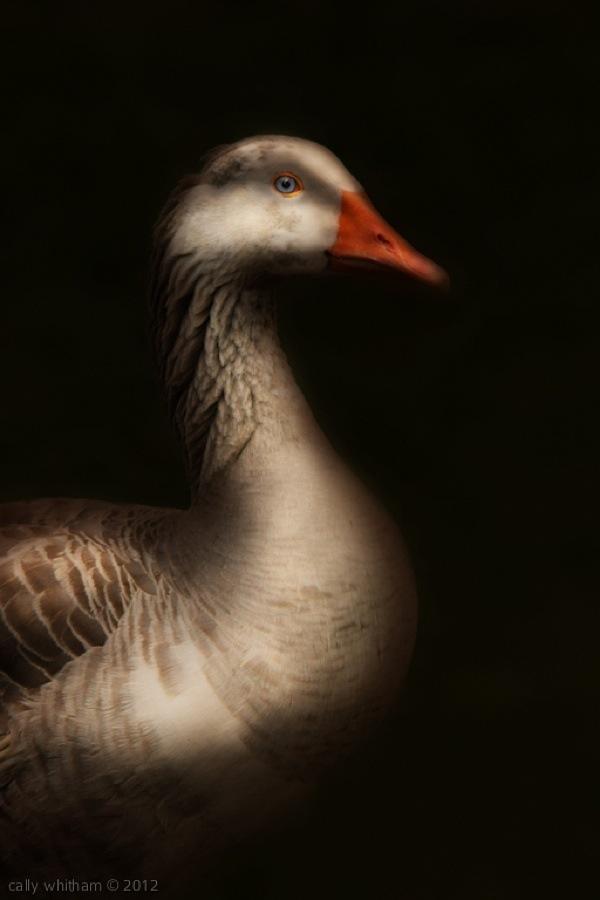 geese-cally-whitham-61.jpg