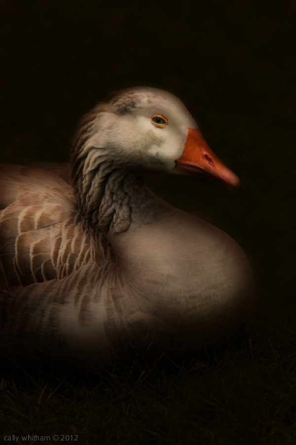 geese-cally-whitham-11.jpg
