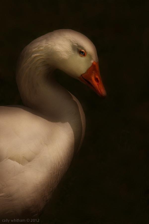 geese-cally-whitham-31.jpg