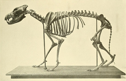 Canis_dirus_skeleton.png