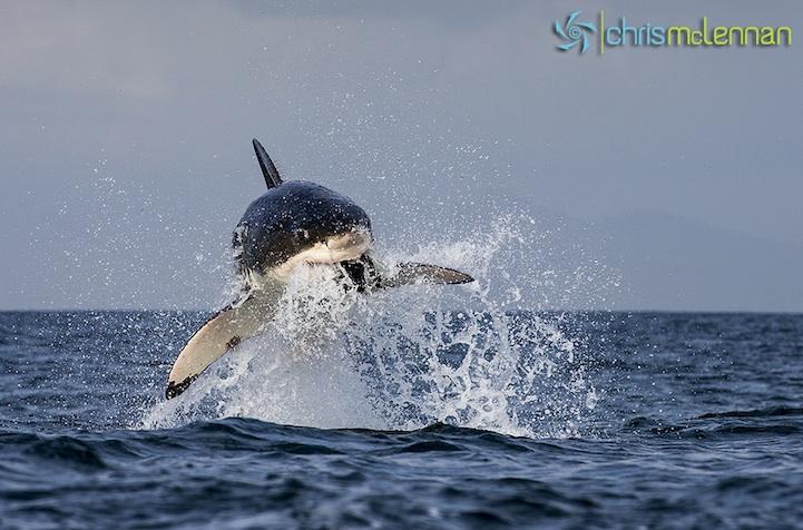shark30.jpg