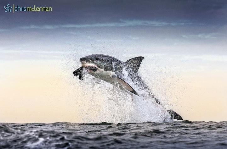 shark11.jpg