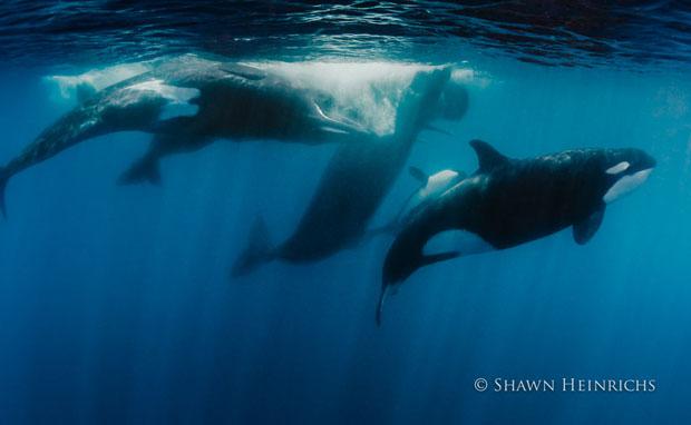 orcaspermwhale-6.jpg