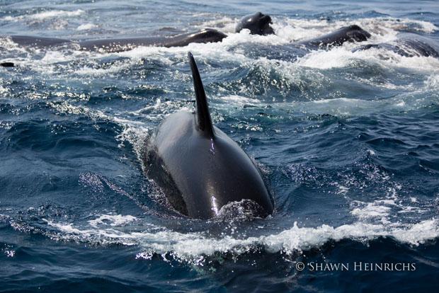 orcaspermwhale-1.jpg