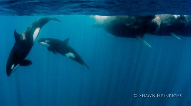 orcaspermwhale-9.jpg