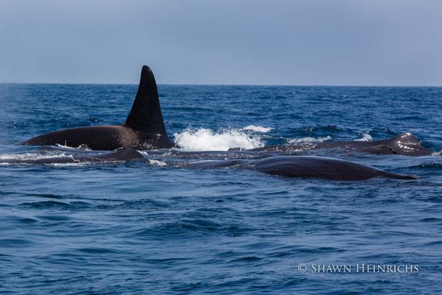 orcaspermwhale-4.jpg