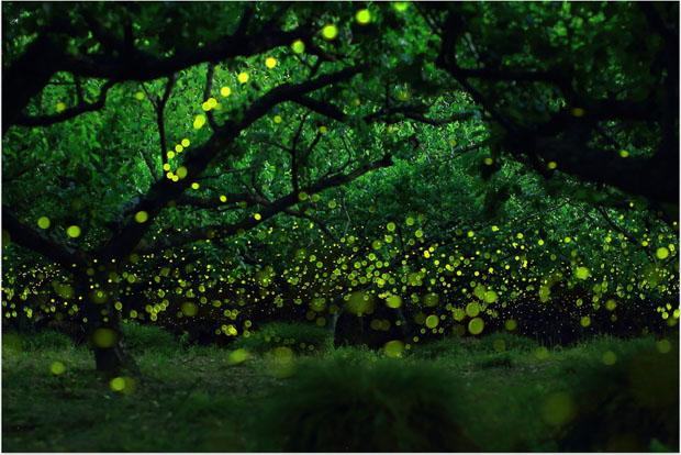 yumefireflies-2.jpg