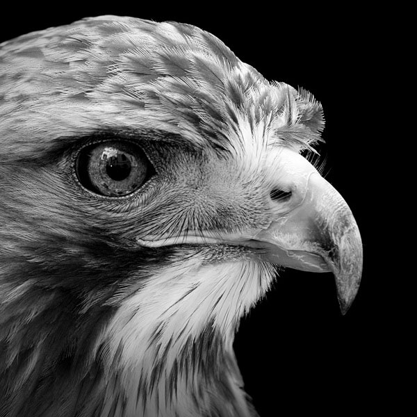 black-and-white-fine-art-animal-portraits-by-lukas-holas-11.jpg