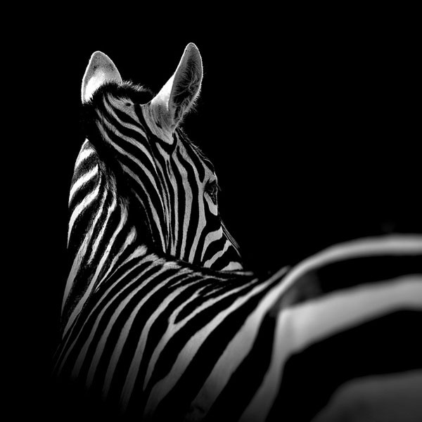 black-and-white-fine-art-animal-portraits-by-lukas-holas-3.jpg