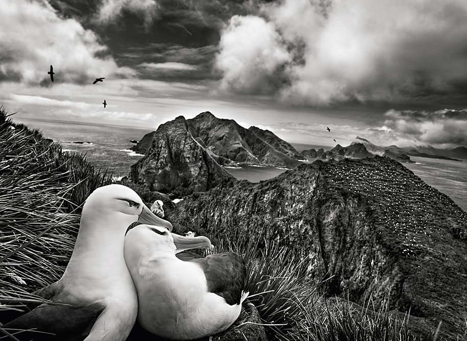 Two black-browed albatrosses near South Georgia (2009)