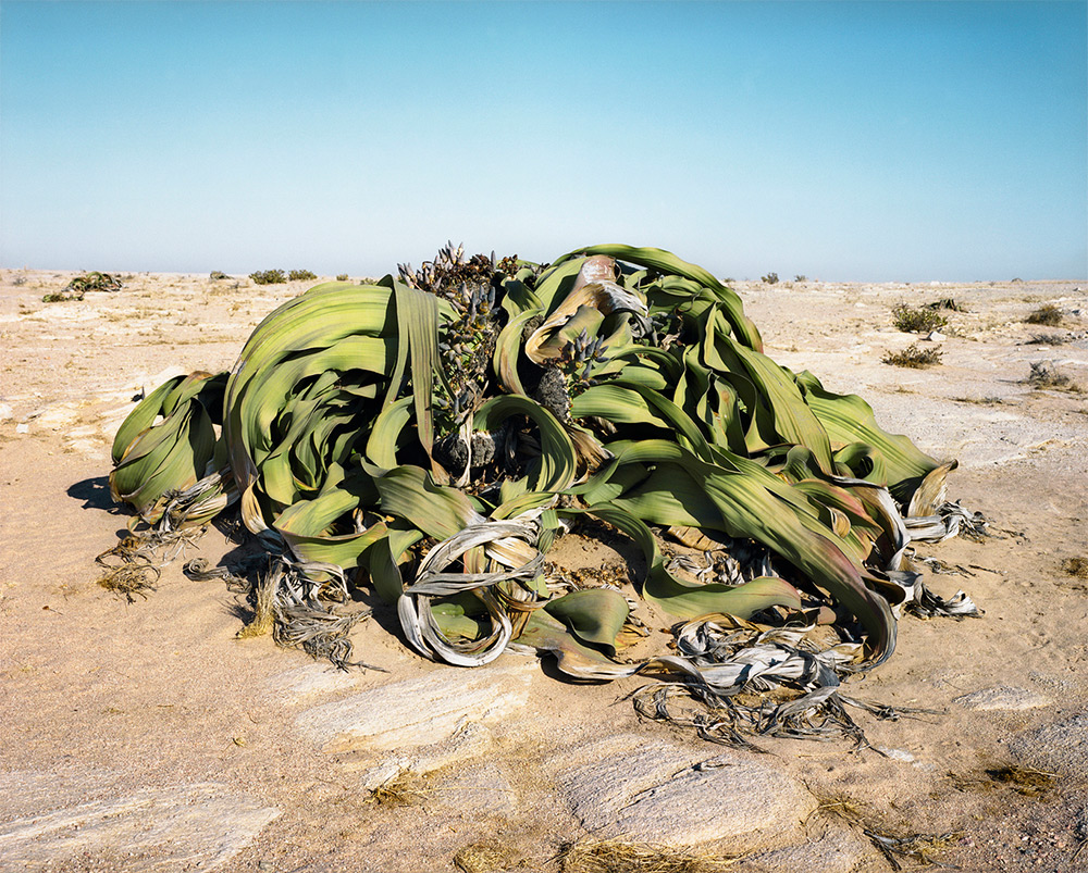 Welwitschia Mirabilis #0707-22411 (2,000 years old; Namib-Naukluft Desert, Namibia)