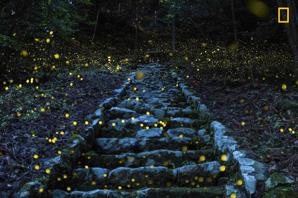 "NATURE - Honorable Mention 2. Photo and caption by Yutaka Takafuji/ National Geographic Travel Photographer of the Year. Forest of the Fairy. ""Shooting in the forest This photograph was taken in the evening hours of a humid early summer day in the forest of a small remote village in the Tamba area of Japan. It beautifully captures the magical atmosphere of Princess fireflies carpeting a stairway leading to a small shrine revered by the local people."""