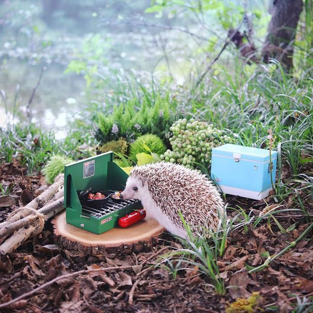hedgehog-azuki-goes-on-camping-trip-1.jpg