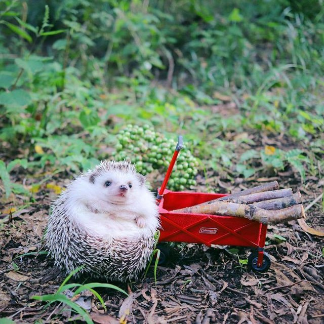 hedgehog-azuki-goes-on-camping-trip-6.jpg