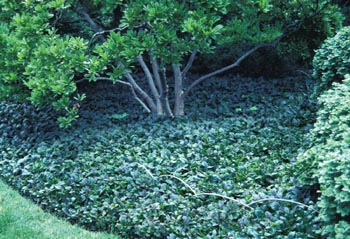 A dense planting of ajuga covers the area around this tree