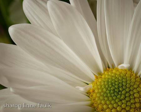 slf daisy 2.jpg
