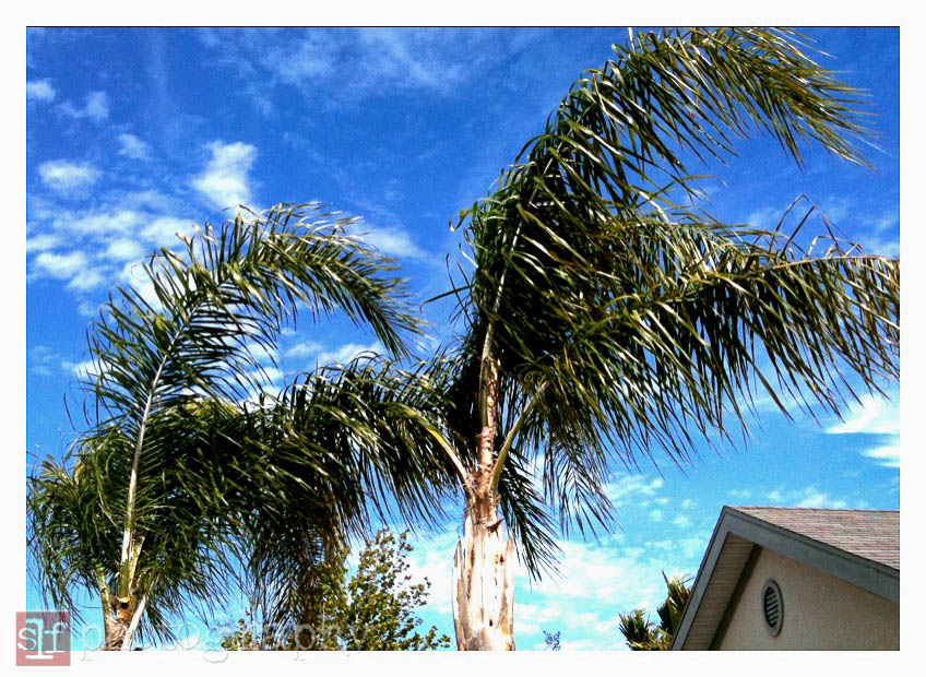 queen palms, 2010
