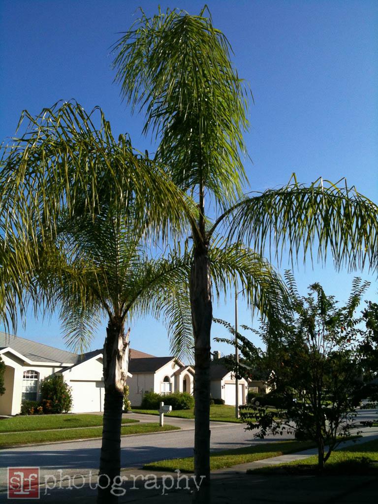 queen palms, 2009