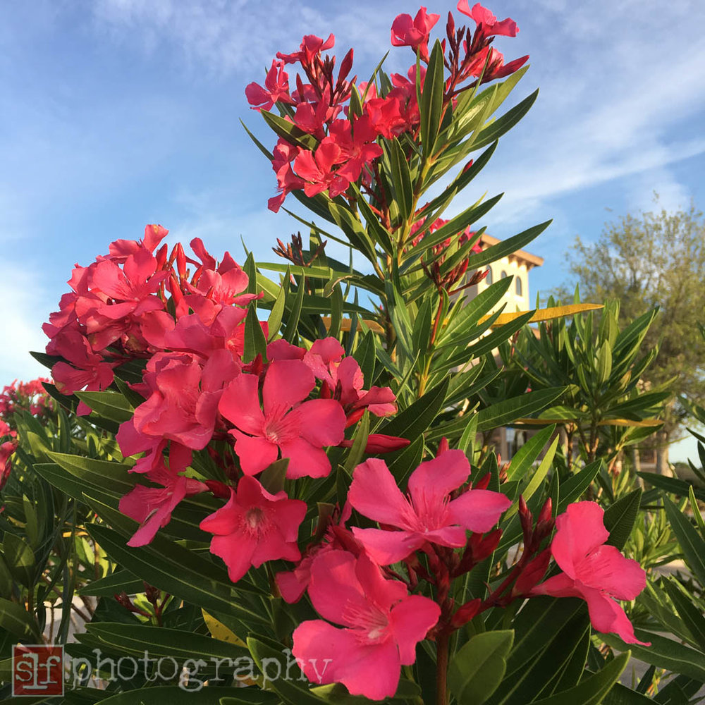 why did they plant oleander, which can be poisonous next to a pedestrian walkway?