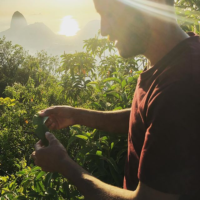 Check out this leaf. People smoke it. Seriously and it's not tobacco or weed. Smells like a citrus chocolate mix.  #yvyterritorios #distilling #botany #urban #foraging #distillerslife #nature #productdevelopment #brazil @jorge_forager @yvy.destilaria