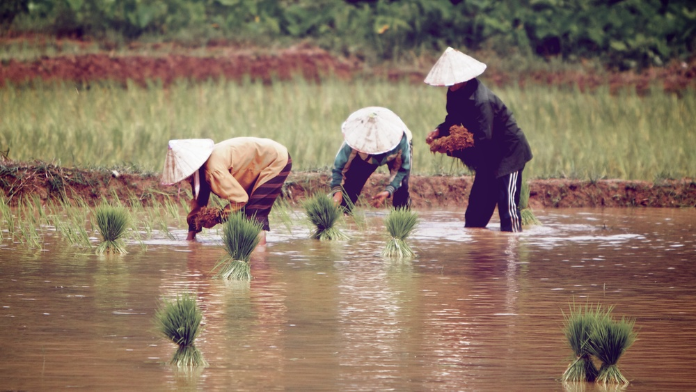 Rice farmers along the road.jpg