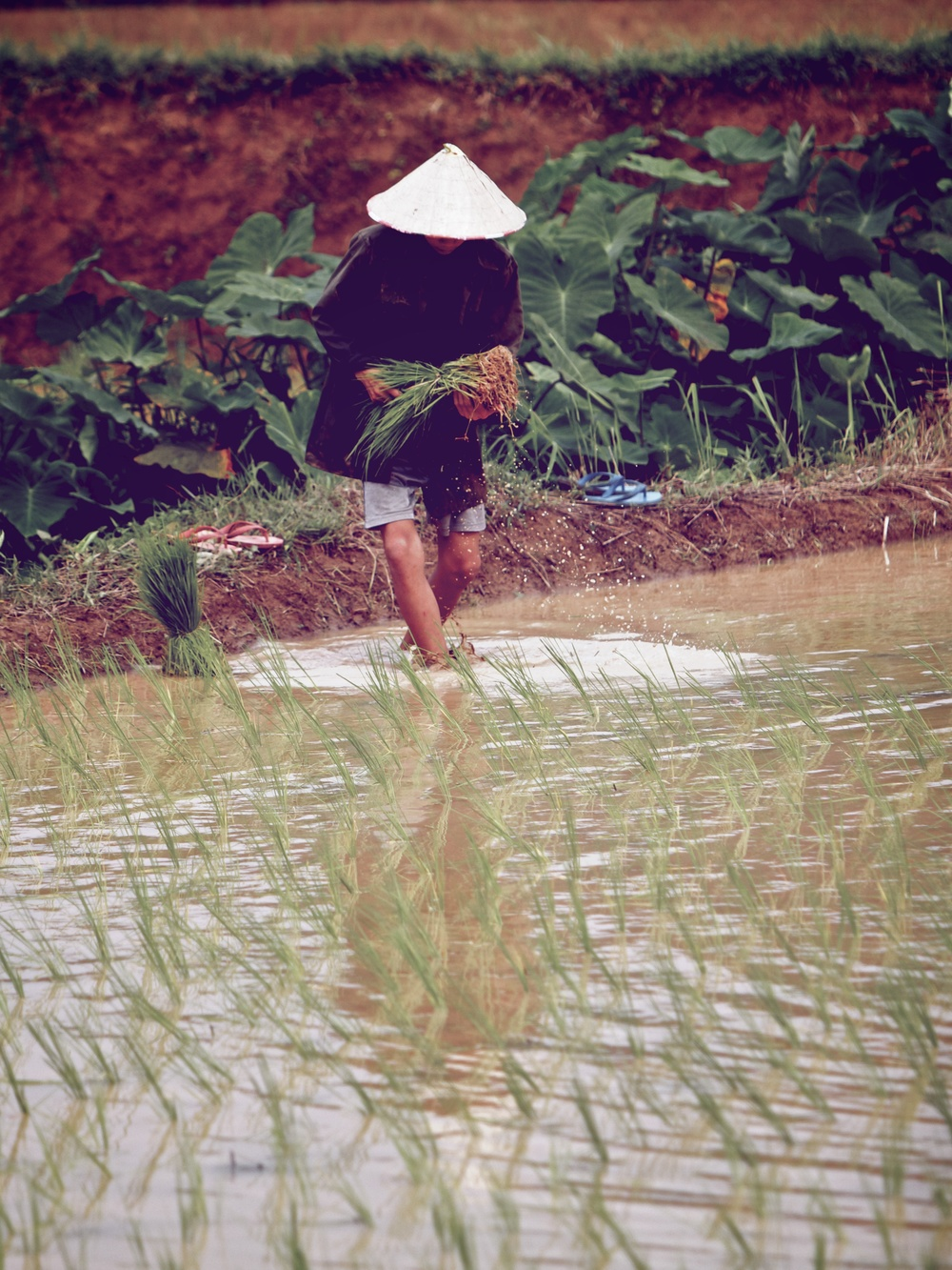Rice planter.jpg