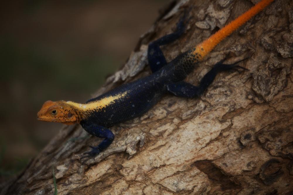 Lizard on a tree.jpg
