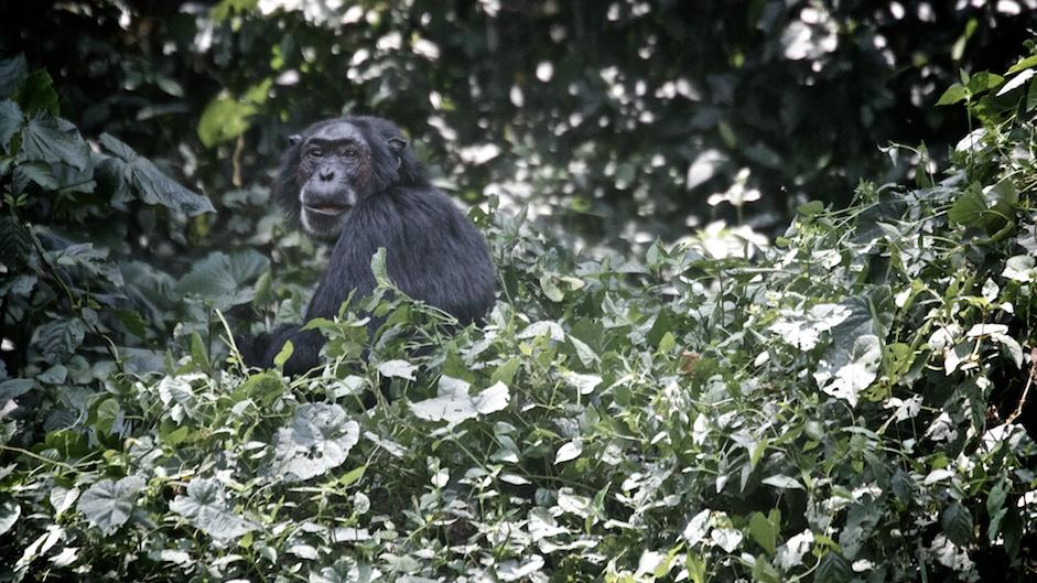 Chimps at the forrest entrance.