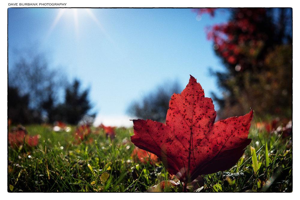 maple-leaf-november.jpg