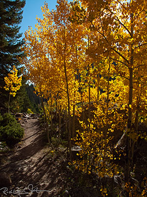 Aspens along the trail.