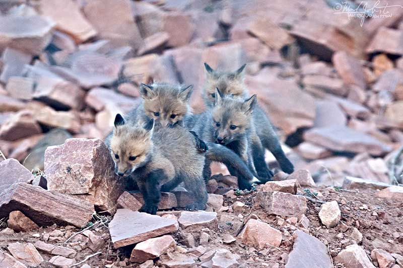 Fox kits play follow the leader.
