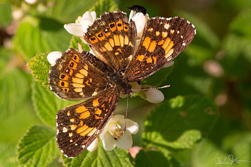 Streamside Checkerspot (Chlosyne nycteis)