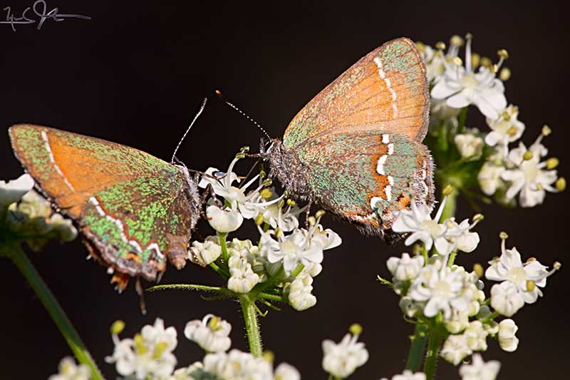 Callophrys gryneus (Cedar Hairstreak)