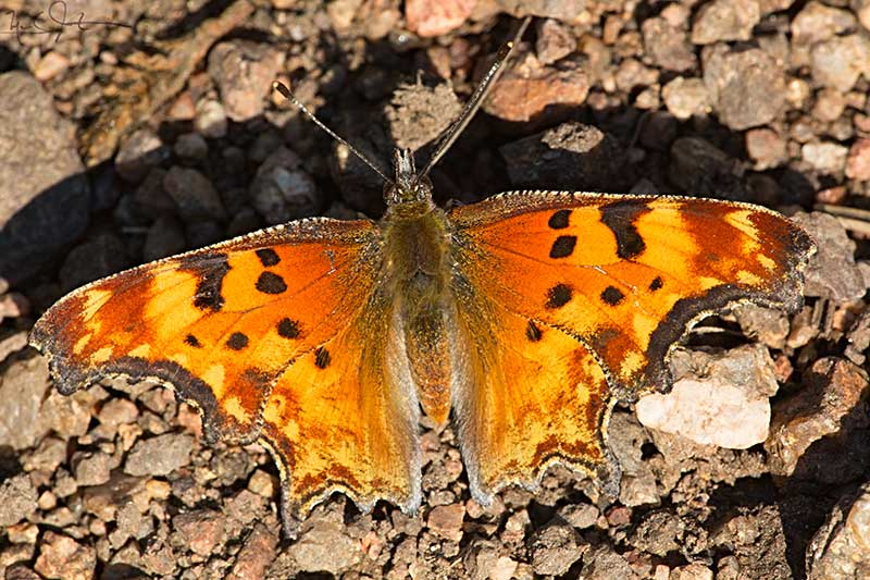 Hoary Comma,  Polygonia gracilus