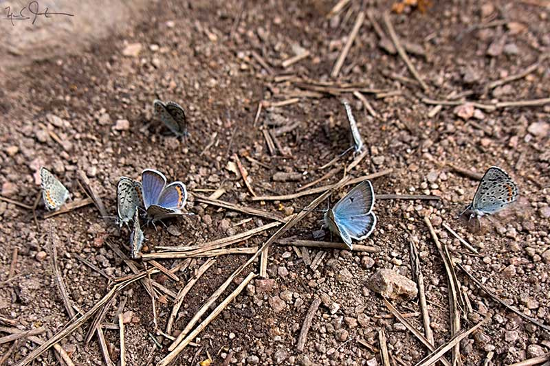Small blue butterflies gather to feed on nutrient-rich water in a drying stream bed.
