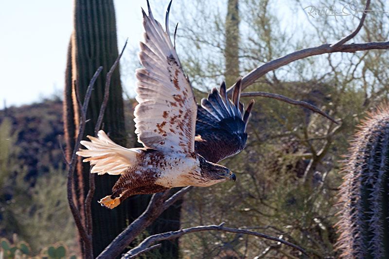 Ferruginous Hawk.