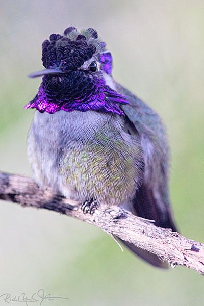 Not in flight: Anna's Hummingbird.