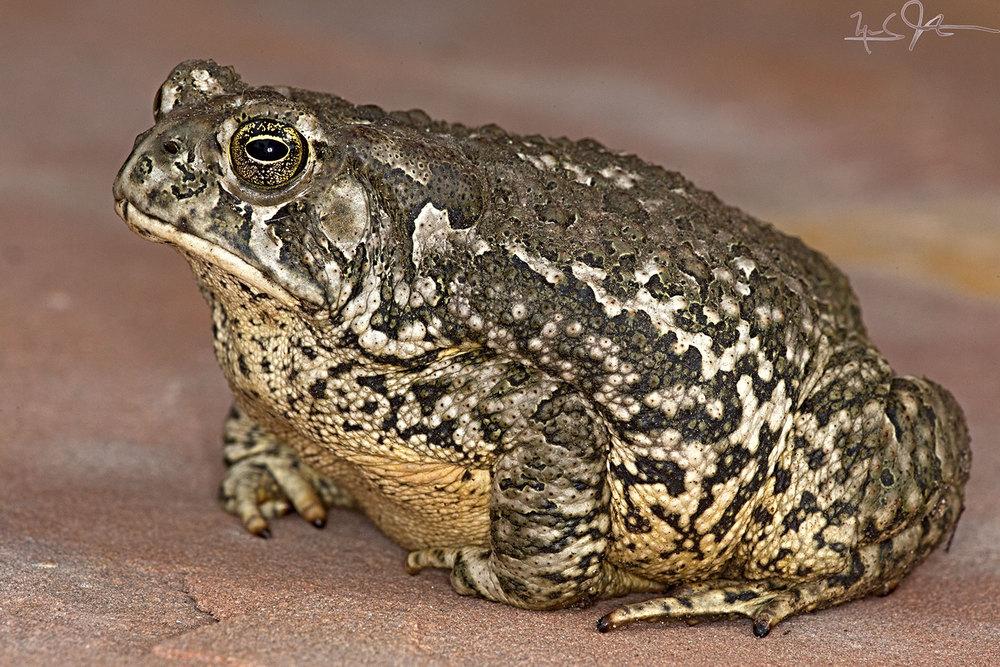 Western or boreal toad,  Anaxyrus boreas .