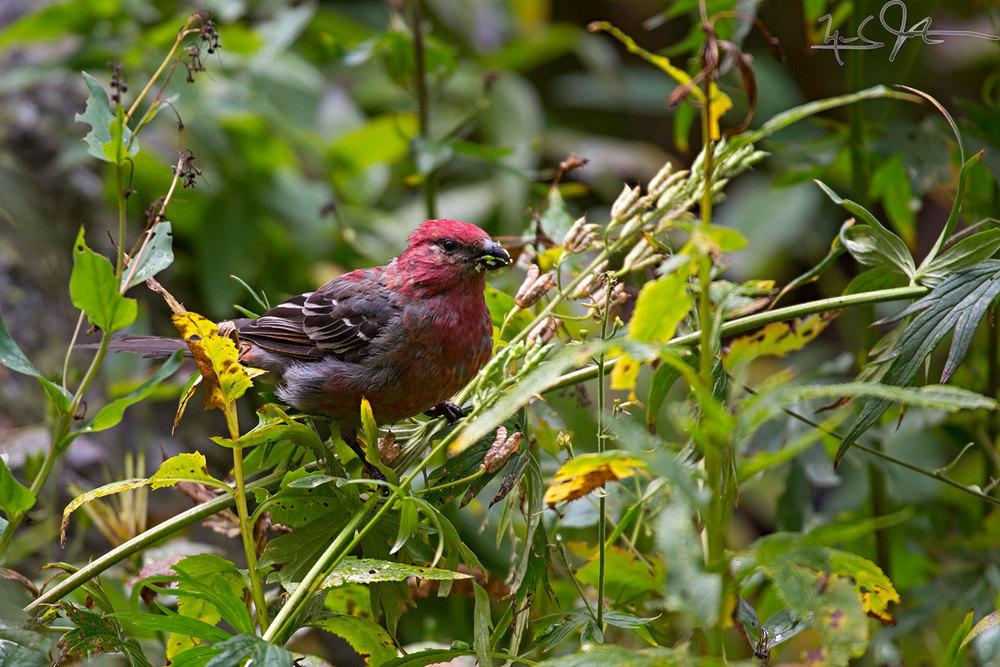 Purple Finch, Carpodacus purpureus.
