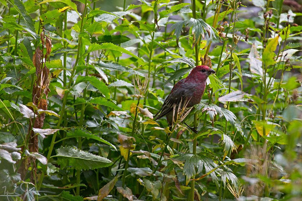 Purple Finch,Carpodacus purpureus.