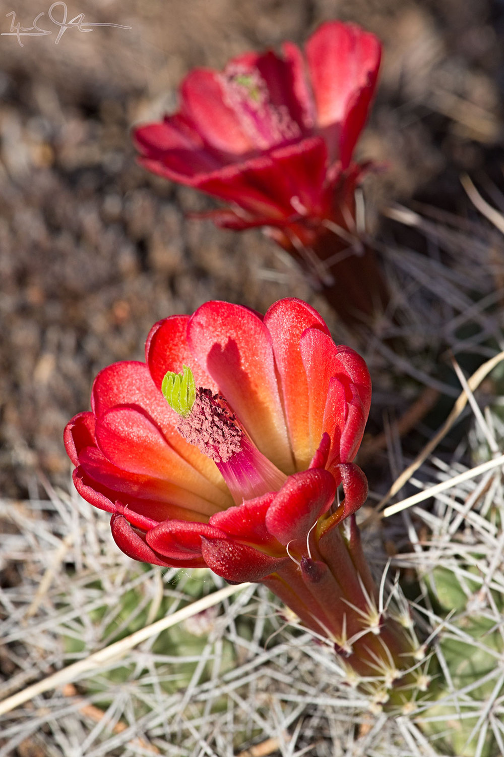 """Claret cup"" cacti in bloom."